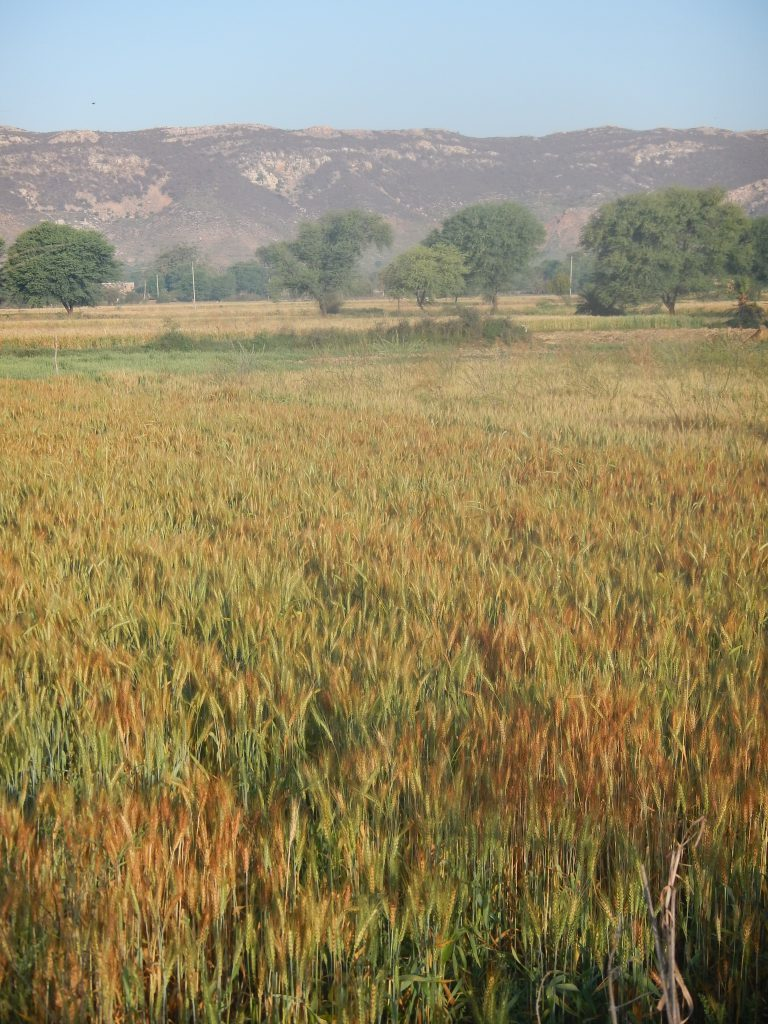 Community-based, village-scale water management has turned desert into productive land in north Rajasthan