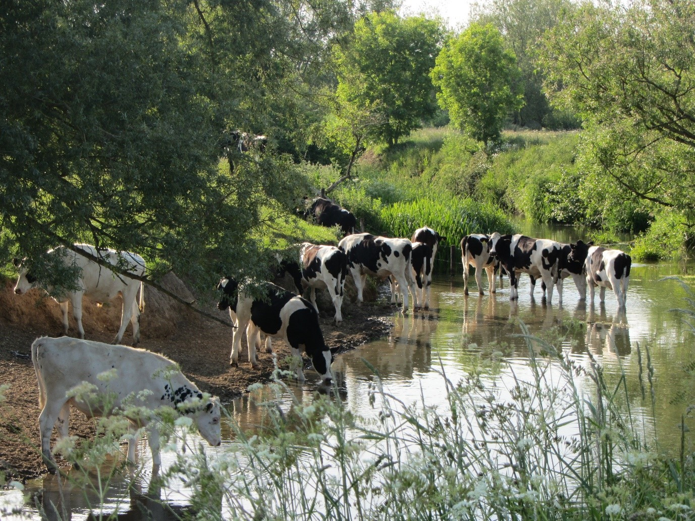 How cattle trampling impacts on water resources – and what can be done about it