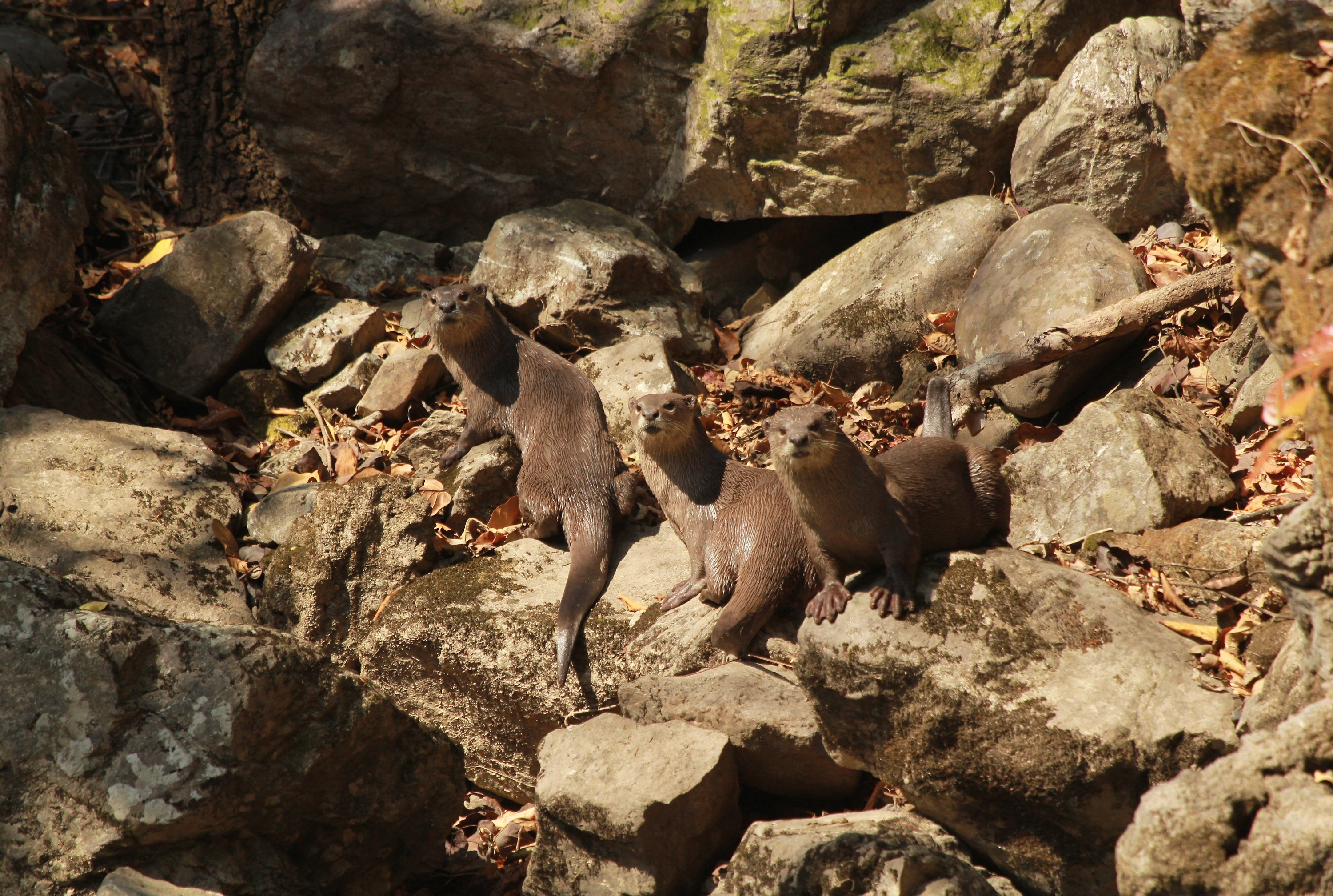 Assessing the distribution pattern of otters in four rivers of the Indian Himalayas